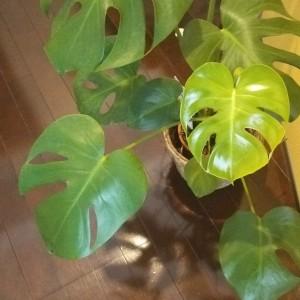 横浜にあるあきば整体院の待合室で観葉植物のモンステラが育ってます。