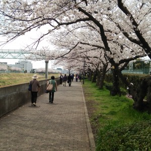 戸塚駅周辺の柏尾川桜風景