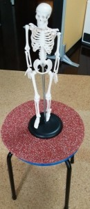 横浜泉区のあきば整体院にある小型全身骨模型
