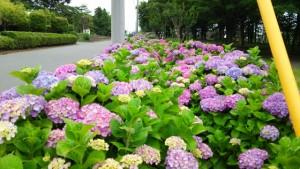 横浜市泉区中田の公園アジサイ